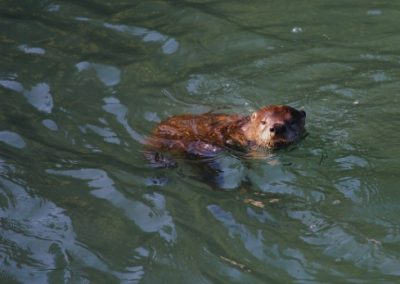 An otter in Vancouver, Canada