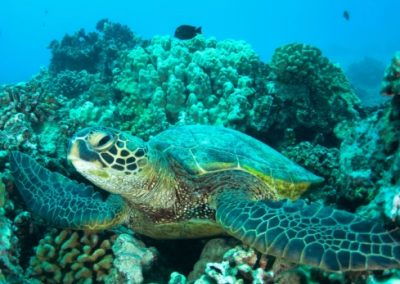 A sea turtle in a coral reef in Australia