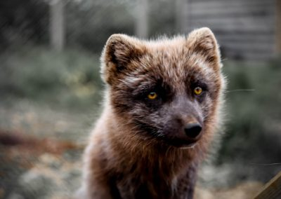 A close-up of an arctic fox