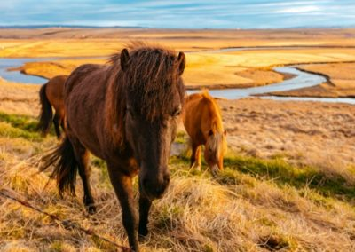 Icelandic ponies on the steppe in Iceland