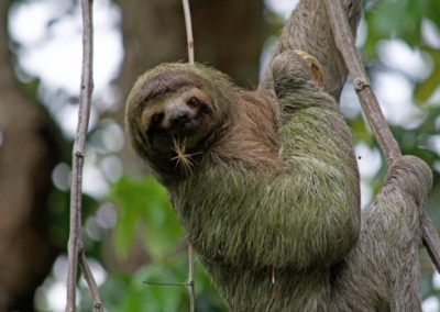 Sloth hanging from a vine looking at the camera