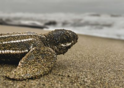 Baby sea turtle covered in sand on a Costa Rican beach